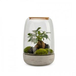 terrarium ginseng